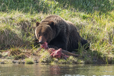 GRIZZLY MEAL ON YELLOWSTONE RIVER
