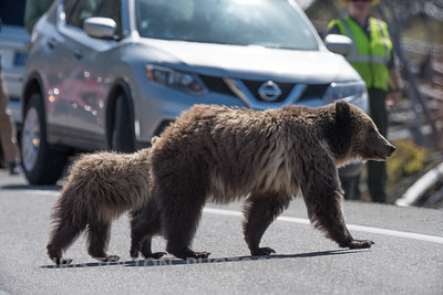 GRIZZLY WITH CUB ON ROAD - YELLOWSTONE