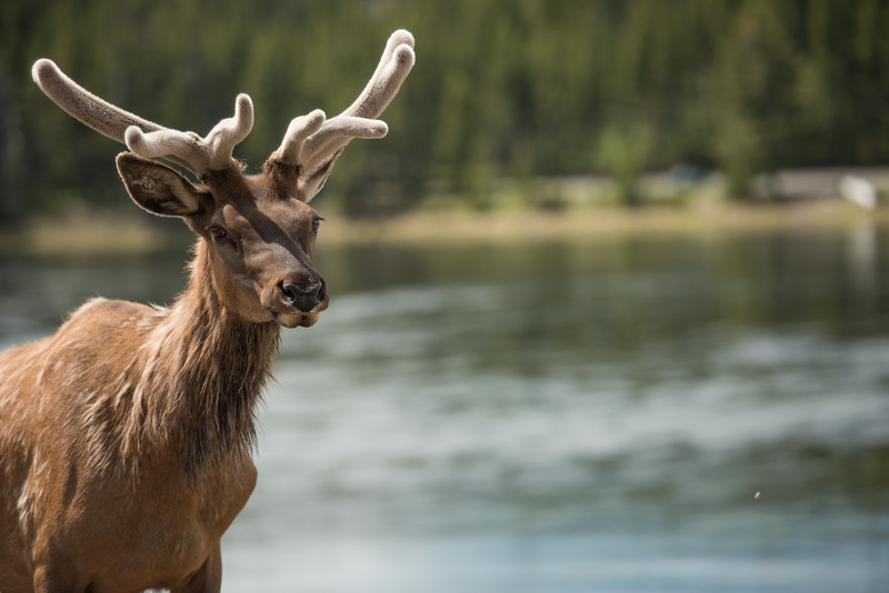 ELK ON BANKS OF YELLOWSTONE RIVER