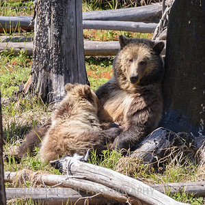 GRIZZLY MOTHER NURSING CUB