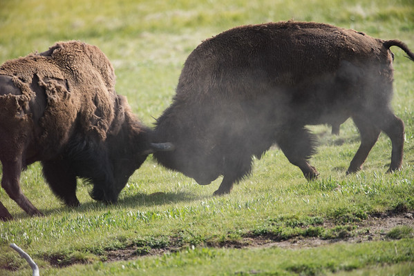 BUFFALO JOUST - YELLOWSTONE
