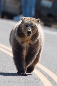 GRIZZLY ON YELLOWSTONE ROADWAY