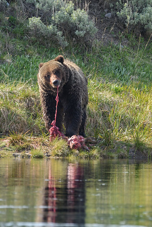 GRIZZLY TEARING MEAL
