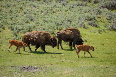 BUFFALO CALFS AND MOTHERS