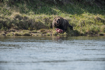 GRIZZLY WITH KILL ON YELLOWSTONE RIVER