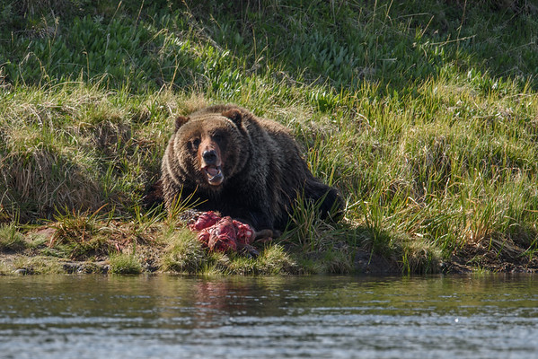 GRIZZLY CHEWING