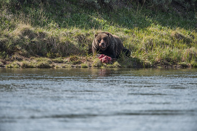 GRIZZLY CHEWING ON KILL - YELLOWSTONE RIVER