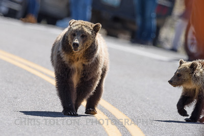 GRIZZLY SOW & CUB