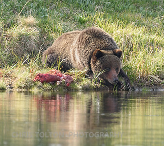 GRIZZLY RESTING WITH KILL ON YELLOWSTONE RIVER