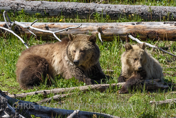 GRIZZLY MOTHER RESTING WITH CUB