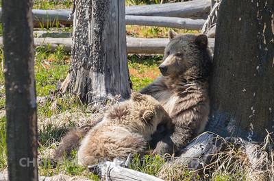 GRIZZLY BEAR NURSING CUB