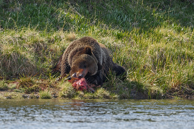 GRIZZLY EATING KILL - YELLOWSTONE RIVER
