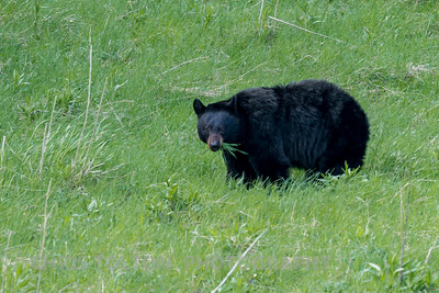 BLACK BEAR FORAGING GRASS