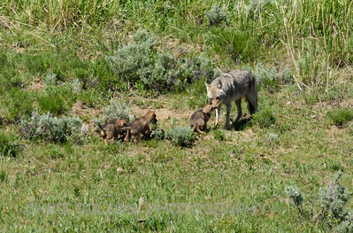 COYOTE MALE WITH PUPS