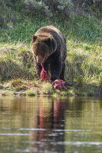 GRIZZLY TEARING BUFFALO KILL