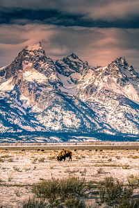 Bison in Forground with the Grand Tetons in Background