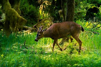 Deer in Hoh rainforest