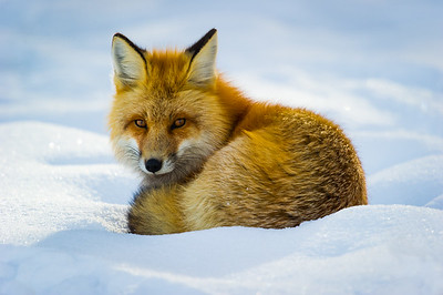 red fox, )Vulpes vulpes