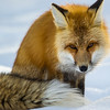 Tired Fox (Vulpes vulpes)