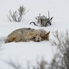 Coyote resting at the edge of the forest  paying close attention to surrounding.