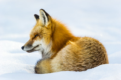 fox,animal,wildlife,photo