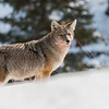 Coyote just finished gorging on a kill in the Yellowstone