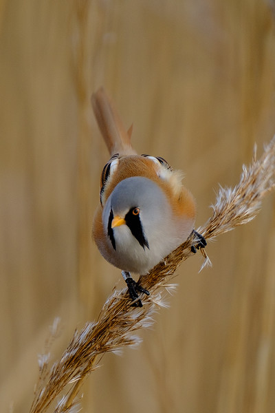 bearded tit (male)