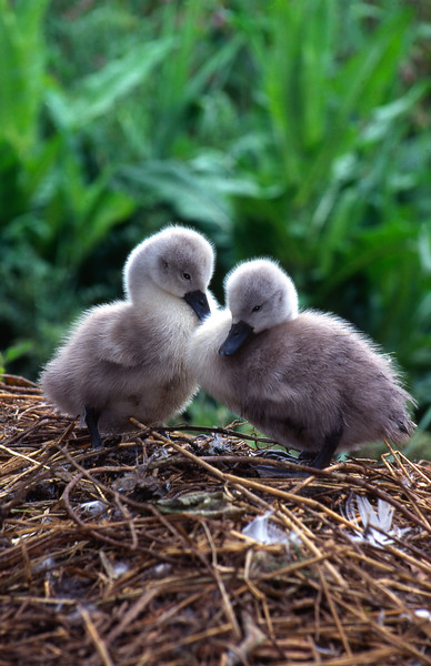 Mute Swan Cygnets, Abbotsbury