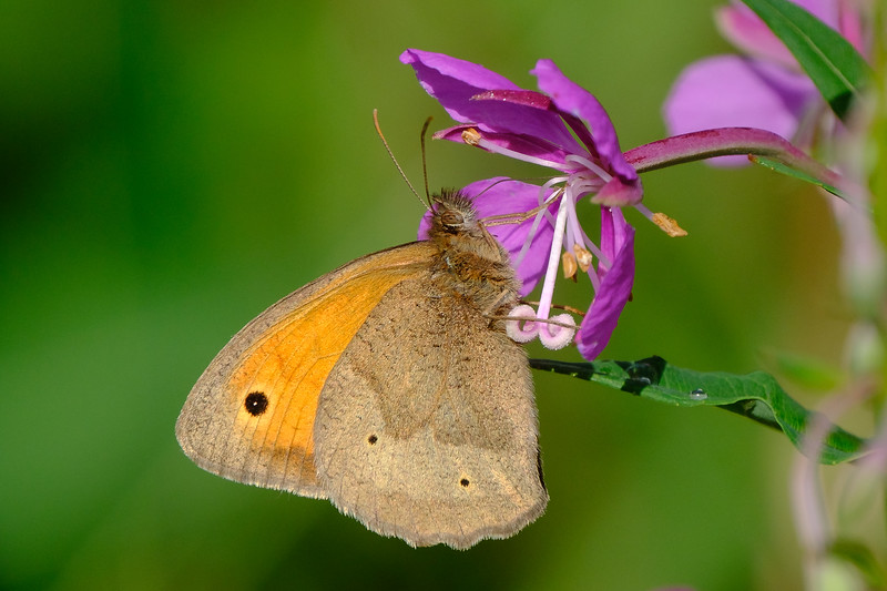 meadowbrown butterfly
