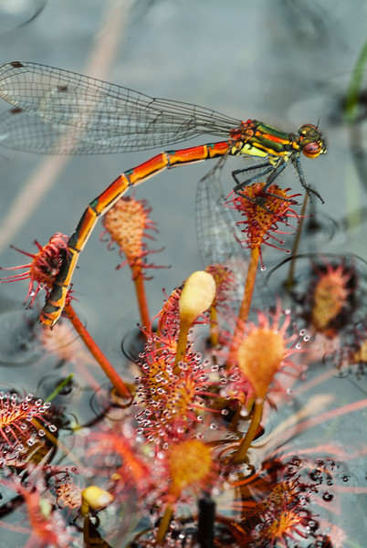 large red damselfly trapped on sundew