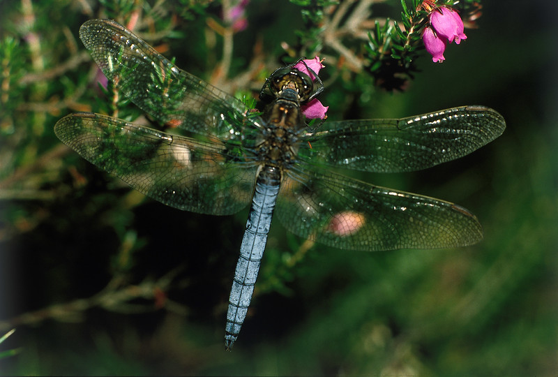 Male Keeled Skimmer Dragonfly, Studland