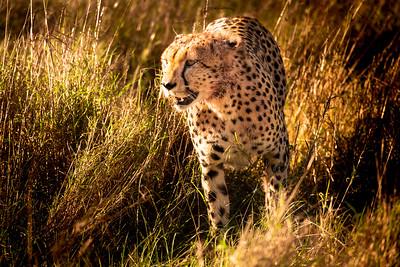 cheetah #5