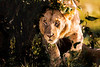 Lion #1
