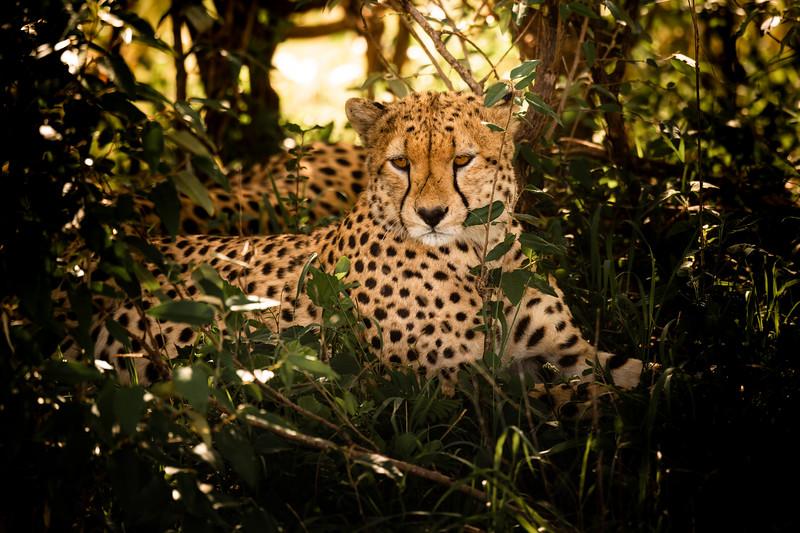 Cheetah #3