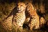 Cheetah #4