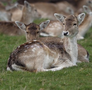 DYRHAM PARK DEER 3rd March 2014