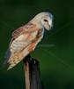 BWC OWLS_803