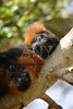 Brown lemur lied on a branch