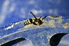 Wasp bug, yellow jacket over blue metal wheel