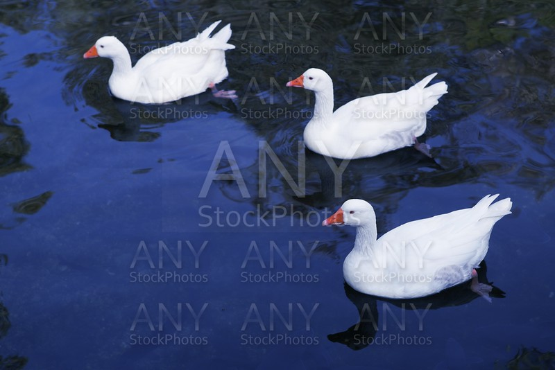 Ducks in white over blue lake bird aerial view