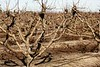 Dry fruit trees without leaves in autumn