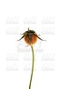 Dried rose seeds, orange and brown, white isolated background