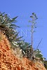 Agave plant in Mediterranean mountain outdoor