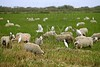 Beautiful flock of sheeps  with dipped white birds over sheep back