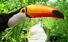 Toco toucan in mangrove tropical jungle
