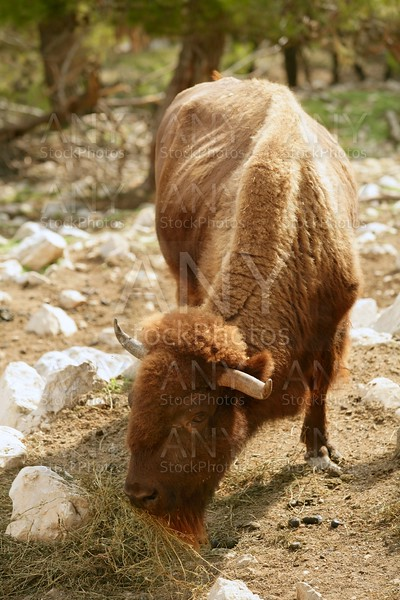 Bison eating front view powerful bull