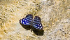 Blue Wave butterfly Myscelia Cyaniris