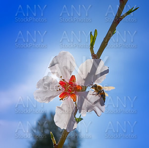 Almond flower tree with bee pollination in spring