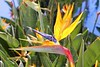 genus strelitzia reginae orange bird flower