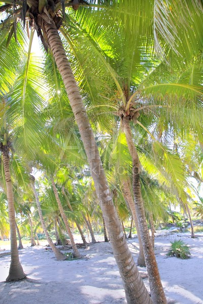 coconut palm trees white sand tropical paradise